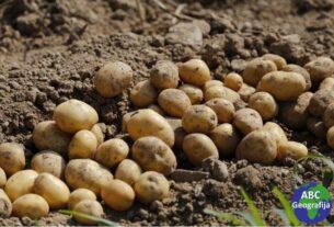 krumpiri u zemlji